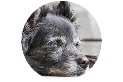 Hund mit Demenz