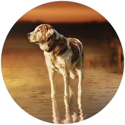 Hund Spondylose, Bandscheibenvorfall und Cauda Equina.