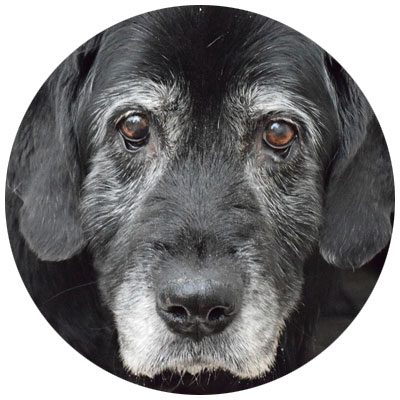 Alter Hund senior