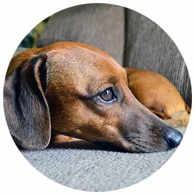 Hund Dackellähme Bandscheibenvorfall