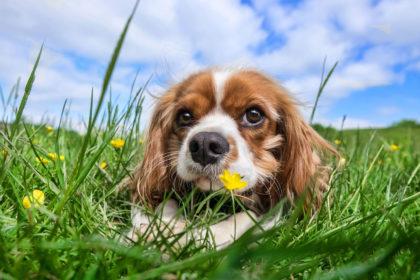 Kleiner Hund auf einer Wiese