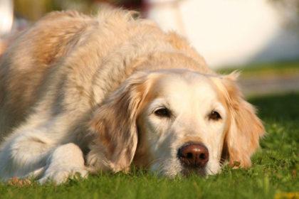 Hund mit kranken Gelenken