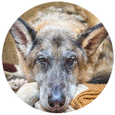 alter hund mit demenz
