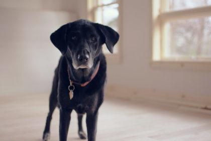 Hundesenior - alter Hund