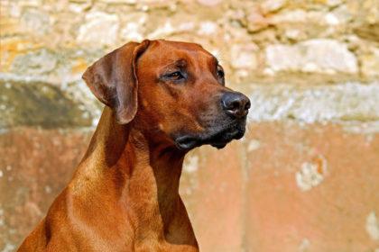 Hunde mit gesunden Knochen und Gelenken