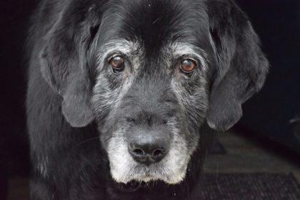 Hunde-Senior