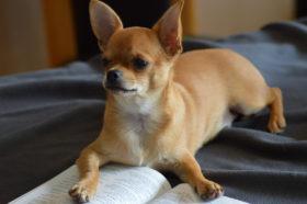 chihuahua-lesen