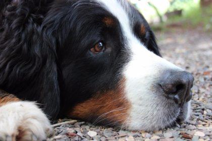 Bernersennen-hund