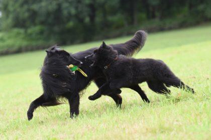 hunde spielen
