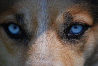 Hund-augen