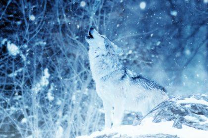 wolf-heulen