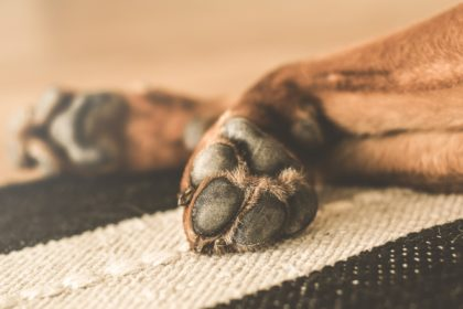 hund lähmung
