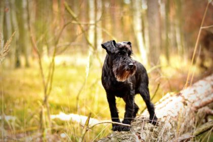 hund-wald