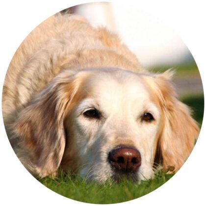 hund mit demenz alzheimer