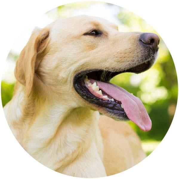 Hund Zähne Zahnstein